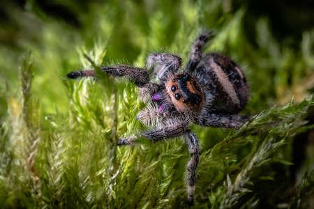 A close up of a regal jumping spider, Phidippus regius. 写真素材