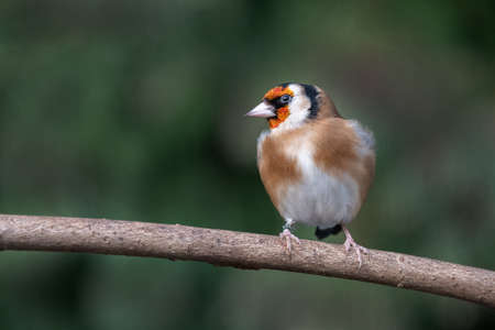 A goldfinch. carduelis, is perched on a wooden branch looking to the left 写真素材