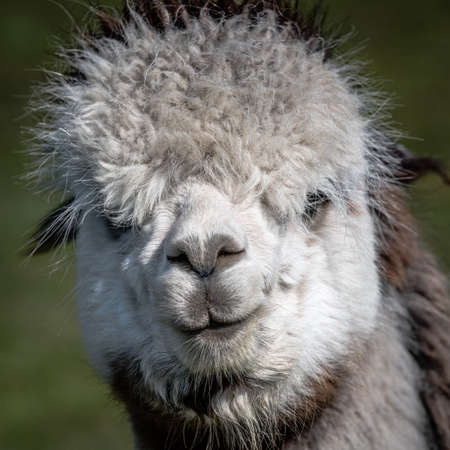A very close portrait of the head and face of a white alpaca, Vicugna pacos. It is staring forward at the camera 写真素材