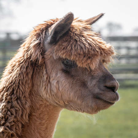 A very close profile portrait of the head and side face of a brown alpaca, Vicugna pacos. It is looking to the right and slightly down. 写真素材