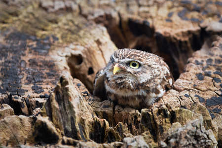 A close up of a little owl Athene noctua, also known as the owl of Athena or owl of Minerva. Its head is shown as it emerges from a hole in an old tree trunk