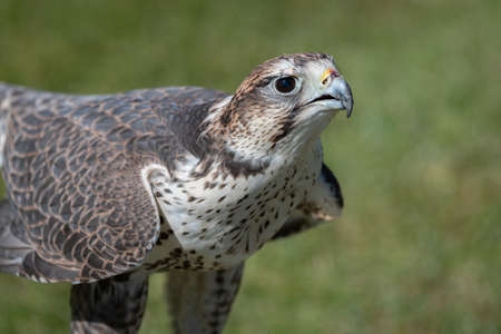 close up portrait of a saker falcon as it stands on grass and points its head up looking intensely