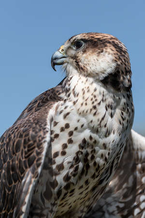 close up portrait of a saker falcon. It is taken against a clear blue sky and shows the head and upper bodies it looks to the left