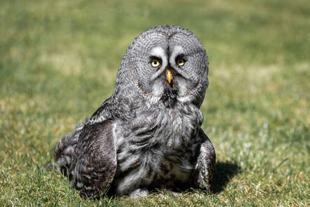 A great grey grey owl standing on grass and looking forward with eyes wide open