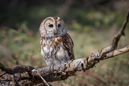 A close up full length portrait of a tawny owl, Strix aluco, facing forward and perched on top of an old branch 写真素材