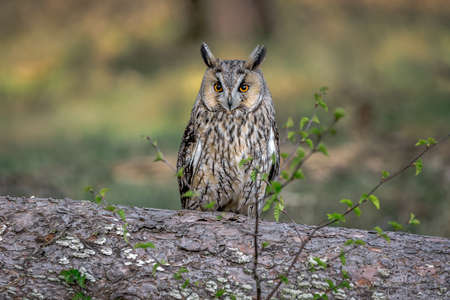 A portrait of a long-eared owl, asio otus, also known as the northern long-eared owl, the lesser horned owl or cat owl as it sits perched in a tree cautiously staring and alert 写真素材