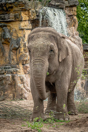 A portrait photograph of an asian elephant standing upright in front of a waterfall 写真素材
