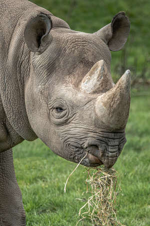 An eastern black rhinoceros, Diceros bicornis michaeli. This is a very close shot of its head as it is feeding. It is also known as the East African black rhinoceros or eastern hook-lipped rhinoceros.