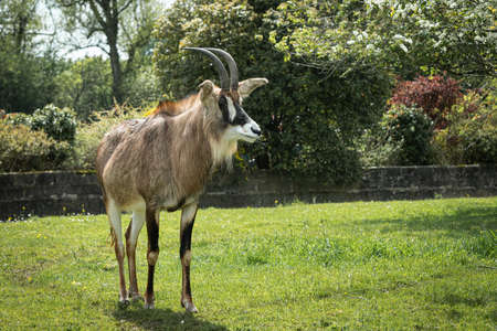 A full length portrait of a roan antelope, Hippotragus equinus. It is standing on the grass field and looking to the right 写真素材