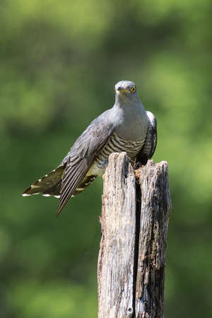 A common cuckoo, Cuculus canorus, perched on top of an old wooden post staring forward. Copy space all around the subject