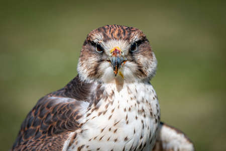 Close up portrait of a saker falcon, Falco cherrug, as it stares forward at the camera. It still has remnants of food on its beak 写真素材