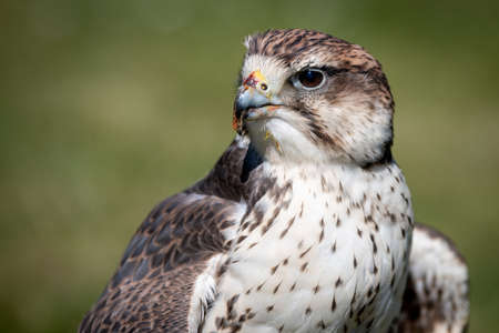 Close up portrait of a saker falcon, Falco cherrug, as it stares forward to the left