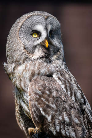 Close up portrait of a great grey owl or great gray owl, Strix nebulosa, as it looks back over its shoulder