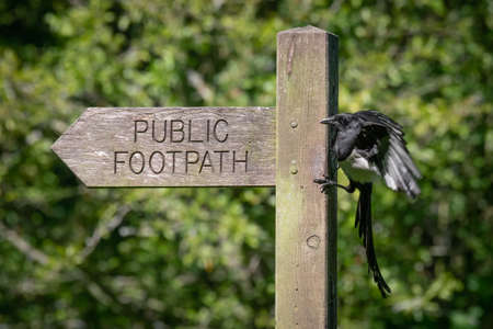A magpie pica pica, landing on a public footpath wooden post