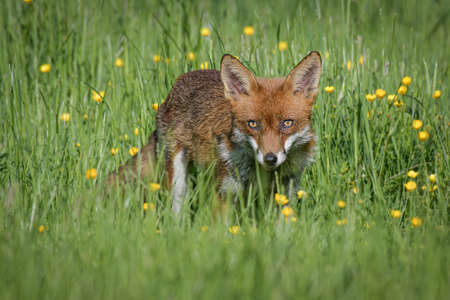 A red fox standing and stares forward at the camera in long grass with buttercups.