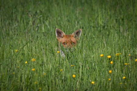 A young fox lying in the grass with its ears and eyes showing staring at the camera