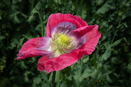 A single bloom of an opium poppy in flower. It is isolated against a natural green background of out of focus foliage 写真素材