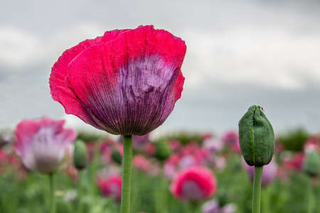 a view looking up at an opium poppy in flower and a new bud next to it yet to flower. In the background is the out of focus poppy field 写真素材