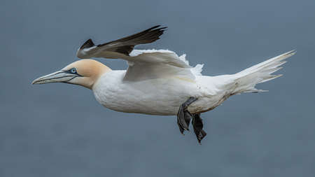 A close up of a northern gannet, Morus bassanus, in flight with a natural out of focus blue background. It is a side profile image