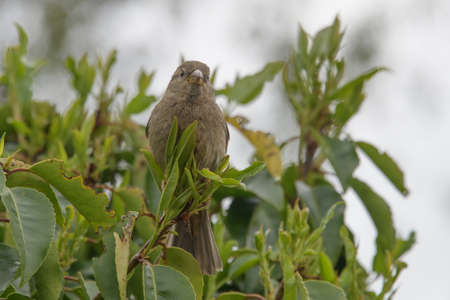 A female house sparrow perched high in a hedge