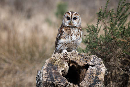 A tawny owl portrait as it is perched on an old tree stump. It is staring forward