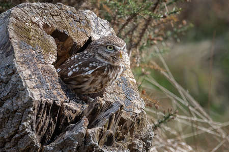 A portrait of a little owl as it is perched in a hole in an old wooden log 写真素材