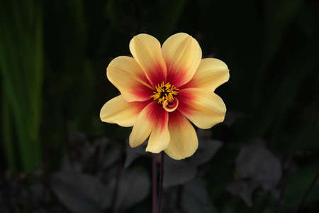 A close up of a dahlia in bloom with the petals and flower head wide open against a dark background