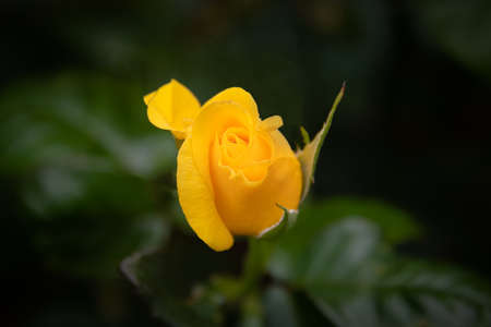 A yellow rose bud taken against a dark background. The flower is just beginning to open