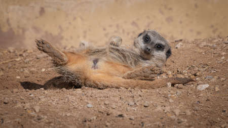Close up photograph of a meerkat relaxing in the sunshine. It is lying on its back with its back legs spread wide open. Its head is lifted up as it stares at the camera 写真素材