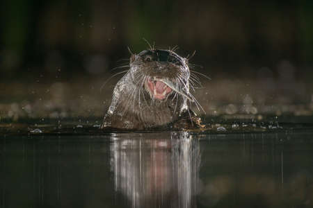 close up of an otter taken at night. It has caught a fish and can be seen in its mouth. Taken at water level its head is just out of the water