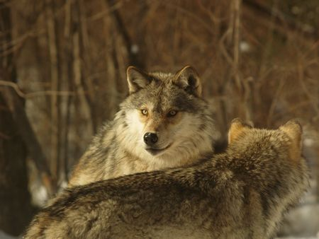 wolf pack feeding, Canada photo