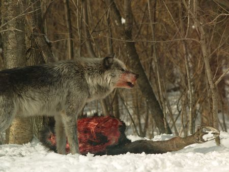 snarl: wolf pack feeding in Canada Stock Photo