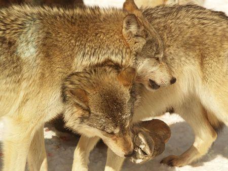 wolf pack feeding in Canada photo