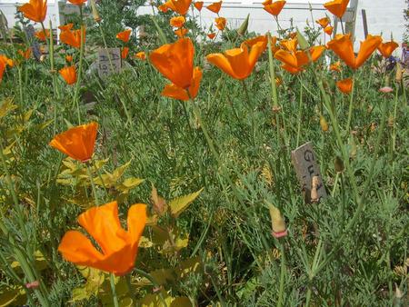 papaver: Papaver flower genus of the poppy family Papaveraceae