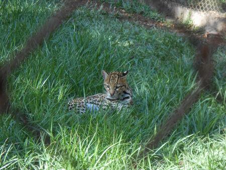 acinonyx: Cheetah large feline scientific name Acinonyx jubatus