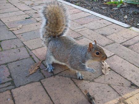 chordata: Squirrel scientific name Animalia Chordata Mammalia Rodentia Sciuromorpha Sciuridae Stock Photo