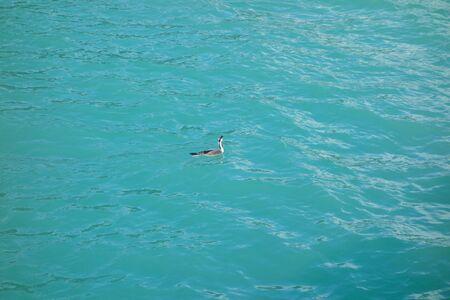 aves: Albatross animal part of Aves aka birds in the sea