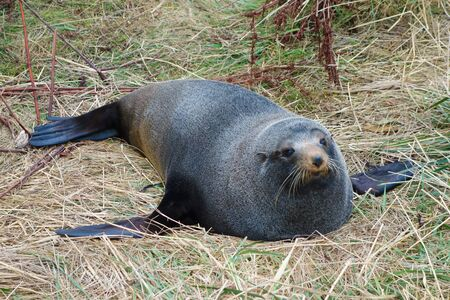 semi aquatic: Seal Pinnipeds semi aquatic marine mammals animal part of Mammalia aka mammals