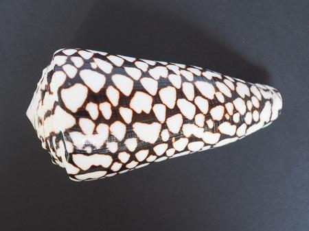 predatory: Conus marmoreus aka marbled cone is a species of predatory sea snail marine gastropod mollusk in the family Conidae aka cone snails, cone shells or cones