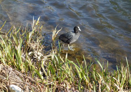 fulica: Eurasian coot (Fulica atra) bird animal in the water