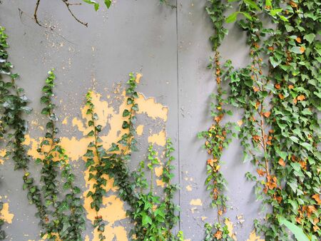 Urban landscaping with green ivy trailing down wall with shadows and copy space. Stockfoto
