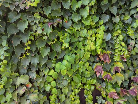 Green climbing plant texture background. Ivy texture. Ivy hedge background. Ivyberry backdrop. Ivy wallpaper. Ivyberry backround image. Ivy wall. Green wall. Green plant texture. Green leaves background. Myrtle green background.