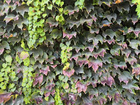 Green climbing plant texture background. Ivy texture. Ivy hedge background. Ivyberry backdrop. Ivy wallpaper. Ivyberry backround image. Ivy wall. Green wall. Green plant texture. Green leaves background. Myrtle green background. Stock fotó