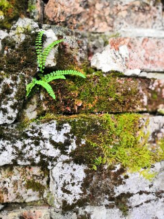 Old bricks with green moss and little ferns background. little tree and moss green ferns are growing on old brick wall Reklamní fotografie