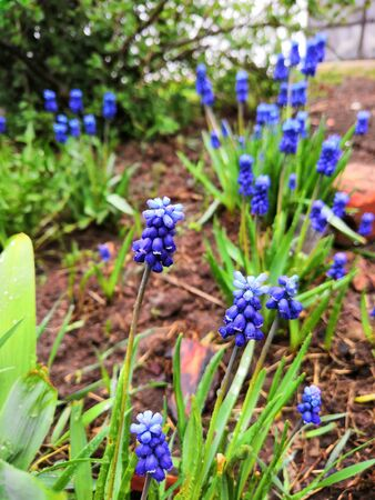 Blue Muscari flowers on the ground background. Young flowers Muscari sprout from the ground in the spring garden Фото со стока