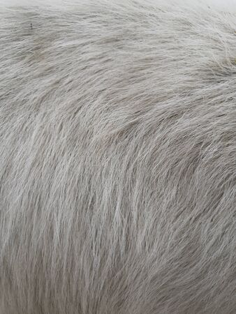 White wool with white top texture background, light natural sheep wool, white seamless cotton, texture of fluffy fur for designers, close-up fragment white wool carpet Фото со стока