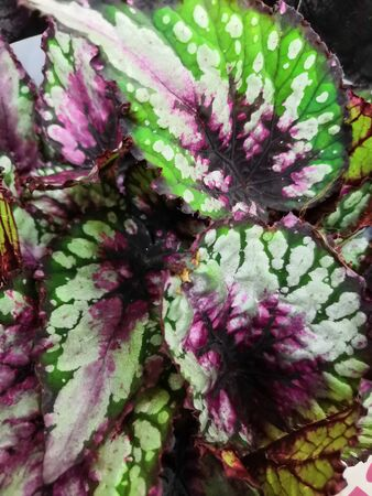 The coloured leaves are begonia foliage background. Abstract colorful blurred Rex Begonia Devils Paradise leaves, leaves margins, texture background, selective focus