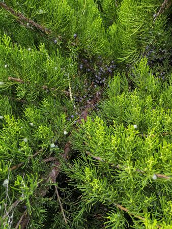 Closeup of Beautiful green christmas leaves of juniper trees on green background.