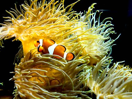Clown fish swimming near colorful corals, abstract natural background, beautiful wildlife, wonderful nature Reklamní fotografie