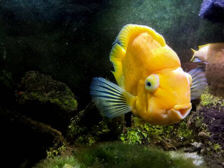 Red Parrot Cichlid fishes in aquarium. Orange Parrot fish on background blue water and green seaweed.